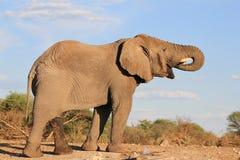 Elefant afrikan - storen törstar 4 Arkivbild