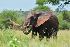 Elefant allein auf savana stockbild