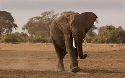 Elefant in Amboseli Stockfotografie