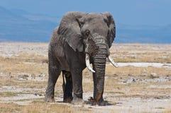 Elefant Amboseli nationalpark Royaltyfria Bilder