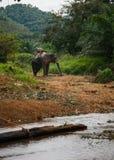 Elefant anseende vid floden i regnskogen av den Khao Sok fristaden, Thailand Royaltyfri Foto