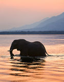 Elefant auf dem Fluss Sambesi. Lizenzfreies Stockbild