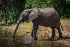 Elefant auf dem Riverbank, der Stamm zum Getränk ausdehnt Stockbilder