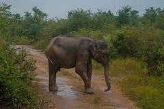 Elefant auf der Straße im Nationalpark Lizenzfreie Stockfotografie