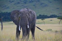 Elefant auf einer grasartigen Ebene Lizenzfreies Stockfoto