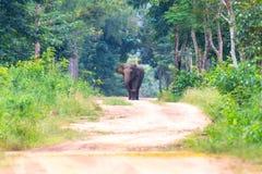 Elefant auf Fahrweg im Wald stockfotos
