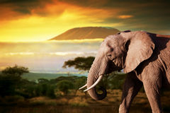 Elefant auf Savanne. Mount Kilimanjaro bei Sonnenuntergang Stockfotos