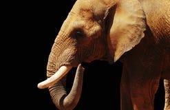 Elefant auf schwarzem Hintergrund Lizenzfreie Stockbilder