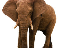 Elefant auf Weiß Lizenzfreies Stockbild