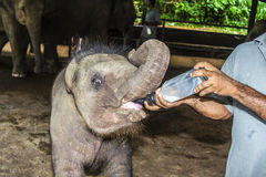 Elefant baby drinking milk. Elefant baby gets milk to drink stock images
