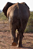 Elefant behind Royalty Free Stock Images