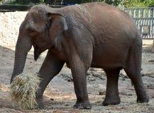 Elefant bei der Arbeit Stockfotos