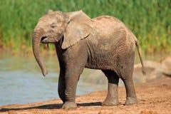 Elefant bei Waterhole Stockbilder