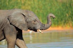 Elefant bei Waterhole Lizenzfreie Stockfotografie