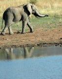 Elefant-Bull. stockfoto