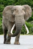 Elefant Bull Stockbild