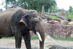 Elefant an Busch-Gärten in Tampa Florida Lizenzfreie Stockfotografie
