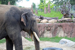 Elefant an Busch-Gärten in Tampa Florida Stockfotos