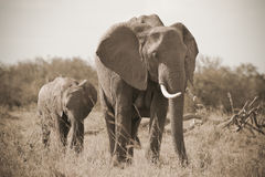 Elefant calf with mother in Masai Mara Royalty Free Stock Photography