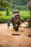 Elefant che mangia erba ed il suo mahout nella foresta pluviale del santuario di Khao Sok, Tailandia Immagine Stock Libera da Diritti