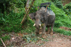 Elefant che mangia erba nella foresta pluviale del santuario di Khao Sok, Tailandia Immagini Stock Libere da Diritti