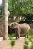 Elefant an Chester-Zoo lizenzfreie stockfotos