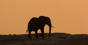 Elefant in Chobe Stockbild