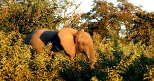 Elefant in Chobe, Safari wild lebender Tiere Botswanas, Afrika stock video footage