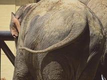 Elefant da parte traseira no jardim zoológico em Baviera em augsburg imagem de stock