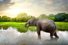 Elefant dans l'étang Photos libres de droits
