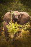 Elefant dans le marais de l'Afrique de l'Est du Kenya de parc national d'Amboseli photos libres de droits