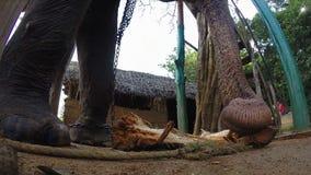 Elefant in den natürlichen Umgebungen, die Anlage kauen stock video