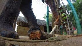 Elefant in den natürlichen Umgebungen, die Bananenstaudestamm kauen stock video footage