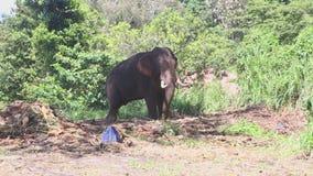 Elefant in den natürlichen Umgebungen nahe dem Tempel des Zahnes in Kandy stock video