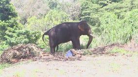 Elefant in den natürlichen Umgebungen nahe dem Tempel des Zahnes in Kandy stock video footage