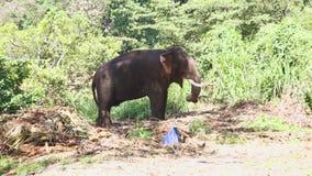 Elefant in den natürlichen Umgebungen nahe dem Tempel des Zahnes in Kandy Kandy ist eine bedeutende Stadt in Sri Lanka, an zweite stock footage