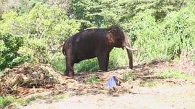 Elefant in den natürlichen Umgebungen nahe dem Tempel des Zahnes in Kandy Kandy ist eine bedeutende Stadt in Sri Lanka, an zweite stock video