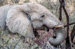 Elefant in den Niederlassungen Lizenzfreie Stockfotos