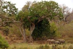 Elefant in den Schatten gestellt durch Feigenbäume stockfotografie
