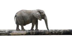 Elefant, der auf Baumstamm balanciert Stockfotos