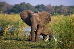 Elefant, der auf dem Gras nahe Fluss Sambesi steht sambia Senken Sie Nationalpark Sambesis Der Sambesi Stockbild