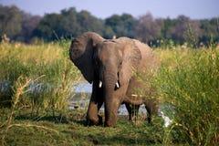 Elefant, der auf dem Gras nahe Fluss Sambesi steht sambia Senken Sie Nationalpark Sambesis Der Sambesi Lizenzfreie Stockfotografie