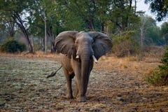 Elefant, der auf der Straße steht sambia Südluangwa Nationalpark Stockfotos