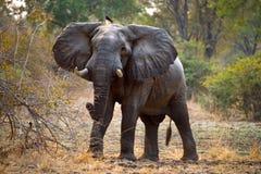 Elefant, der auf der Straße steht sambia Südluangwa Nationalpark Stockfotografie