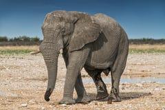 Elefant, der auf die afrikanische Savanne von Etosha geht naphtha lizenzfreie stockfotografie
