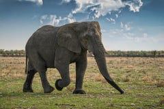 Elefant, der auf die afrikanische Savanne von Etosha geht naphtha Mit Sonnenunterganglicht lizenzfreie stockbilder
