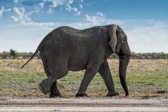 Elefant, der auf eine afrikanische Savanne, mit schönem Sonnenunterganglicht geht Etosha naphtha stockbilder