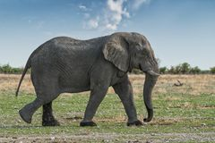 Elefant, der auf eine afrikanische Savanne, mit schönem Sonnenunterganglicht geht Etosha naphtha lizenzfreie stockfotografie