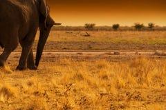 Elefant, der auf eine afrikanische Savanne, mit Sonnenuntergang geht Etosha naphtha lizenzfreies stockfoto