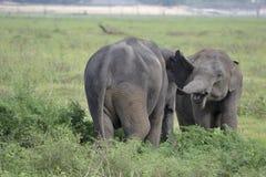 Elefant, der auf Wiese spielt Lizenzfreie Stockbilder